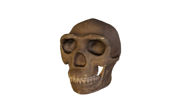 homo erectus 3D Model