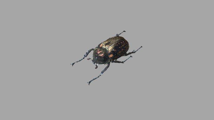 [REAL SPECIMEN] Long-armed scarab Female 3D Model