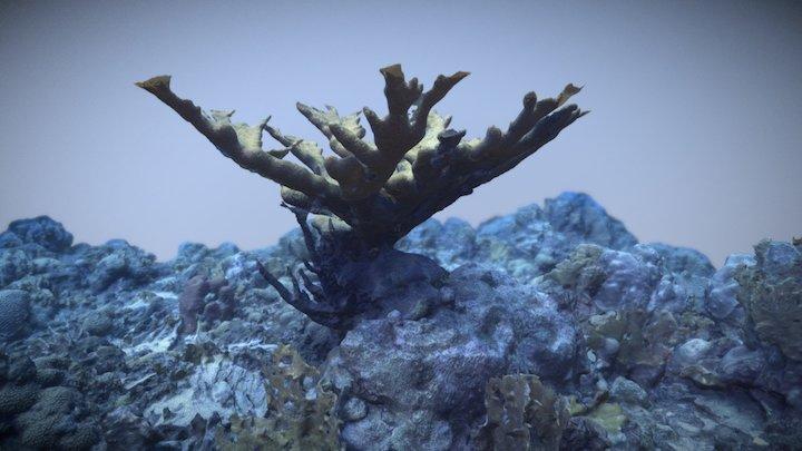 Acropora palmata 02 3D Model