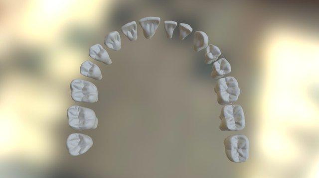 Adult Tooth Morphology 3D Model