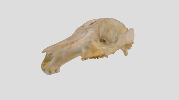 WAM M11599 - Short-eared Rock-wallaby (Skull) 3D Model
