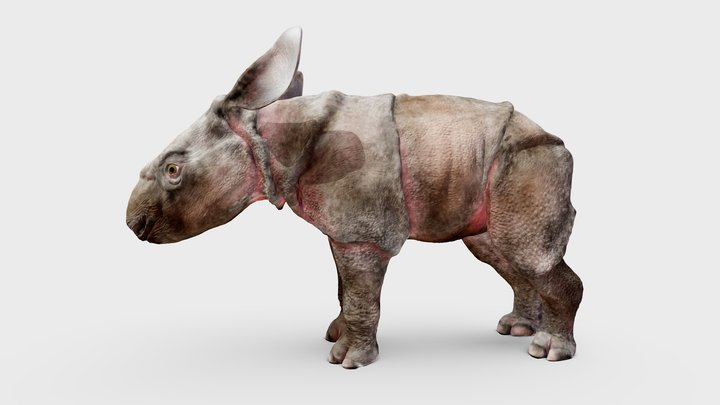 Javan Rhino Calf 3D Model