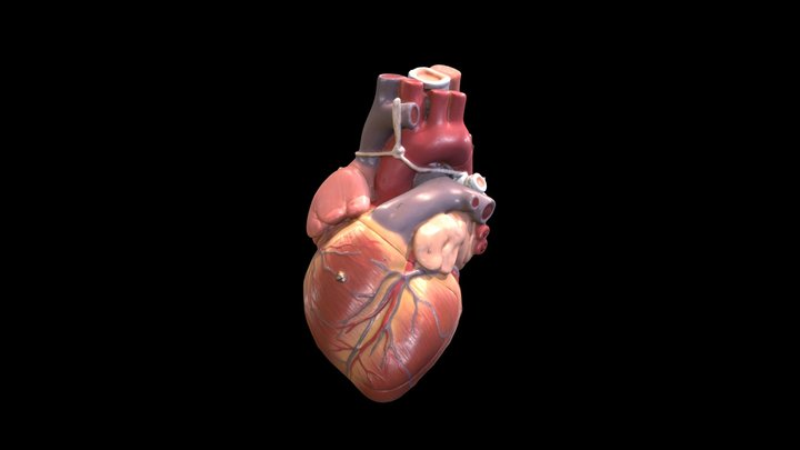 Heart (Plastic Model) - Coronary Arteries 3D Model