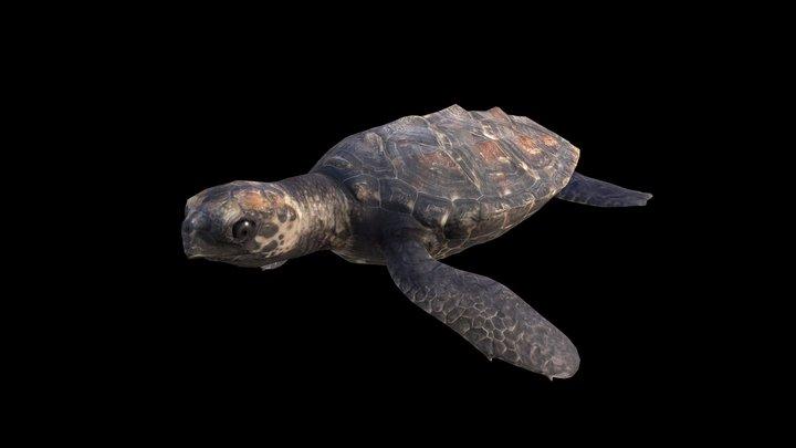 Model 50A - Hatchling Hawksbill sea turtle 3D Model