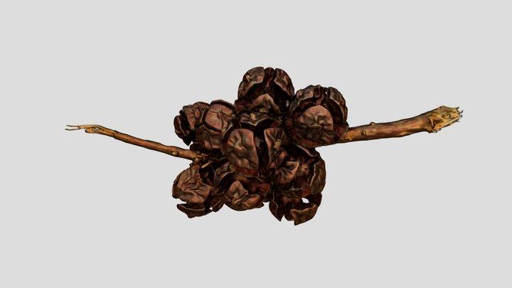 Monterey Cypress seedpods 3D Model