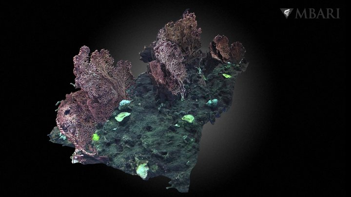 Deep Sea Coral group at Sur Ridge 3D Model