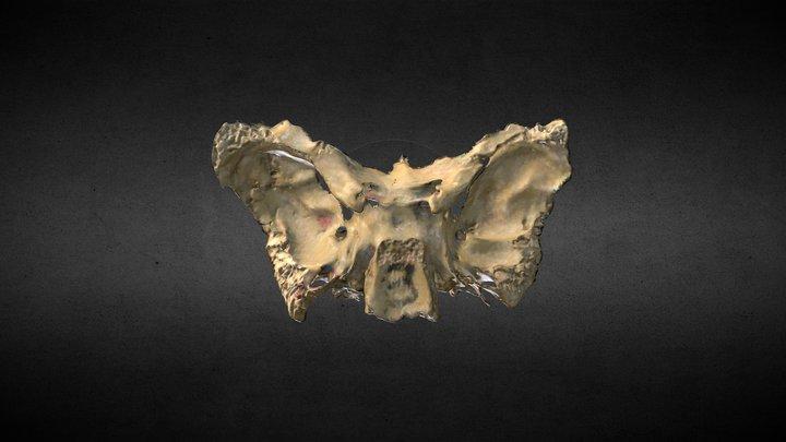 Esfenoides/Sphenoid bone 3D Model