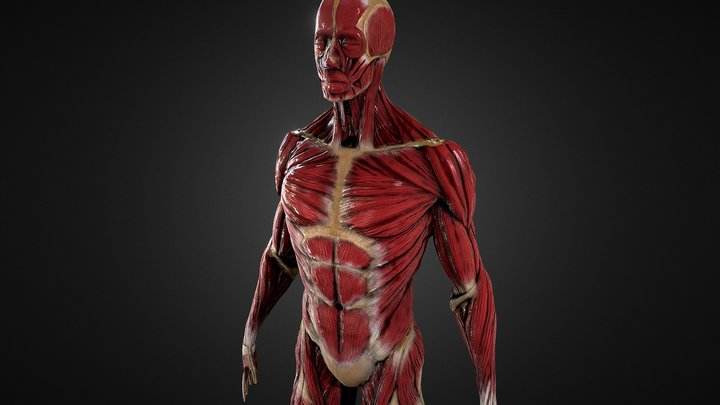 Ecorche Anatomy Study 3D Model