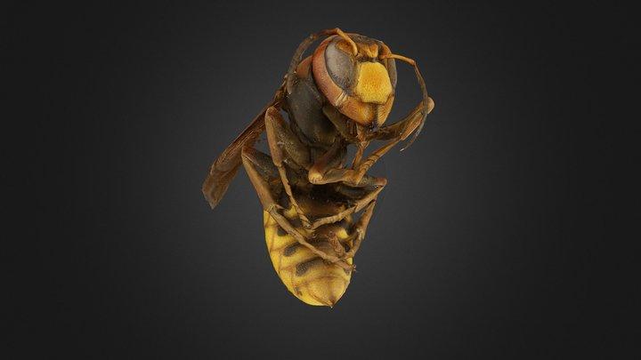 Dead European Hornet - Macro Scan 3D Model