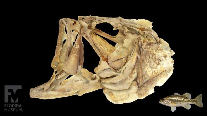 Largemouth Bass Labelled Skull 3D Model
