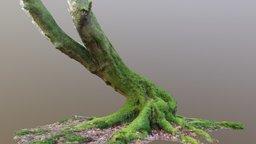 Curvy Mossy Beech Tree 3D Model