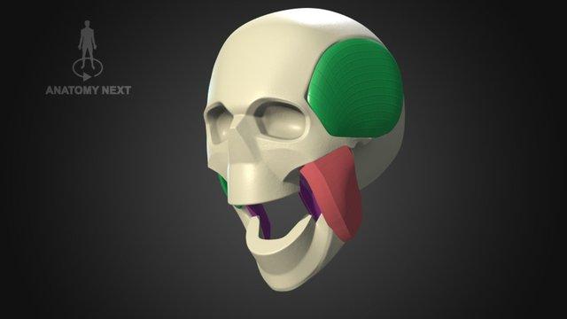 Biomechanics of mastication 3D Model