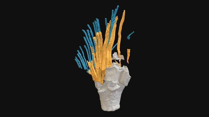 Tiktaalik NUFV109 fin tip 3D Model