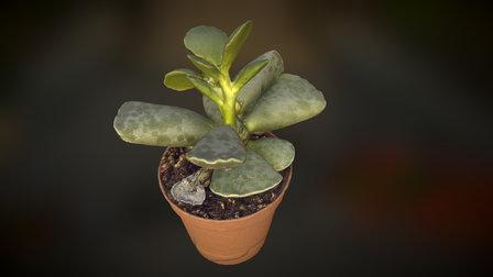 Succulent Baby Plant 3D Model