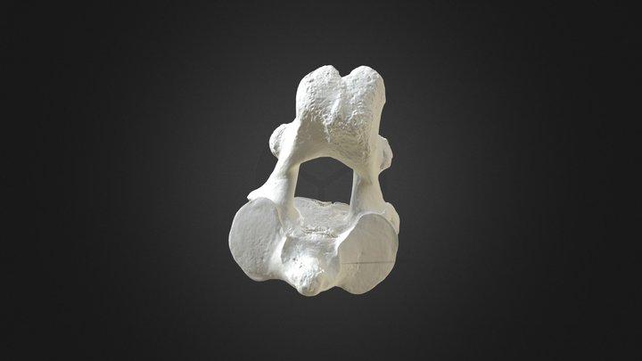 Loxodanta africana (elephant) Axis 3D Model