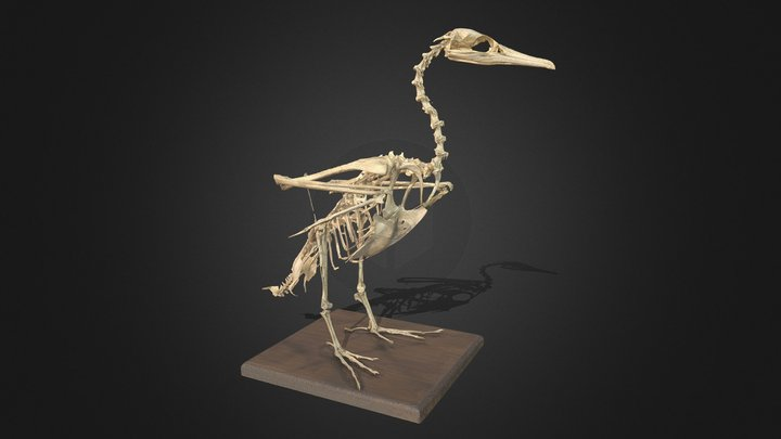 Phalacrocorax carbo, mounted skeleton 3D Model
