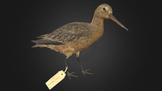Bar-tailed Godwit / Kūaka 3D Model