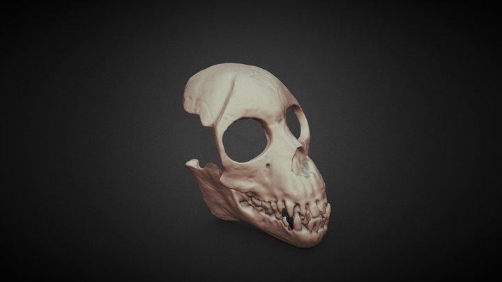 Proconsul Skull 3D Model