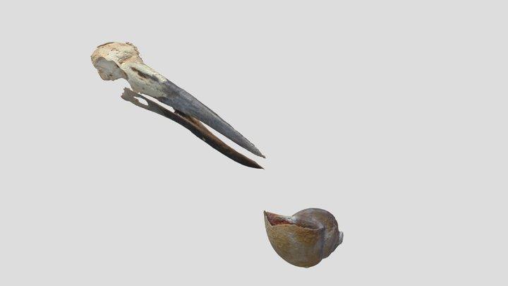 Limpkin skull & apple snail shell 3D Model