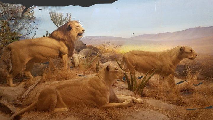 Lions 3D Model