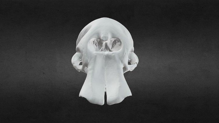 Loxodanta africana (elephant) Cranium Whole 3D Model