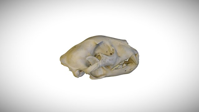 Jaguar / CAS:MAM:16108 3D Model