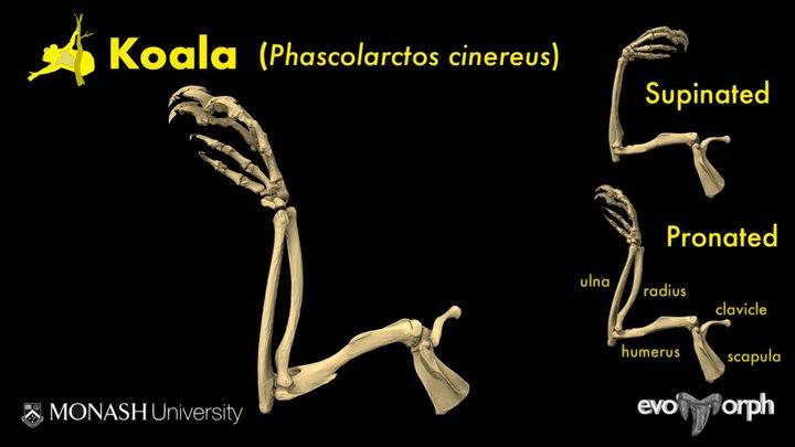 Wrist rotation in Koalas 3D Model