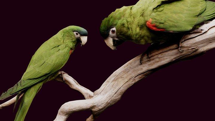 Parrots of the Caribbean 3D Model