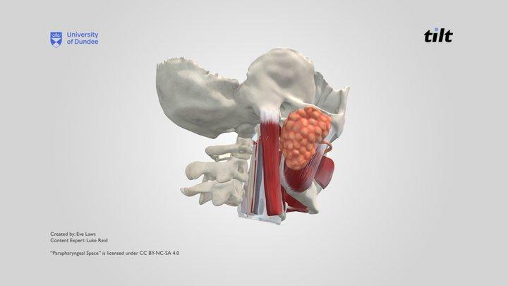 Parapharyngeal Space 3D Model