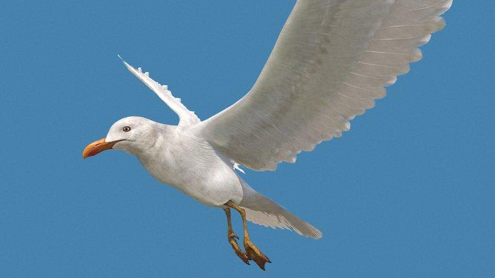 seagull v1 3D Model