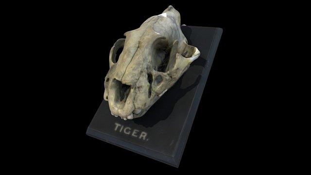 Tiger Skull 3D Model