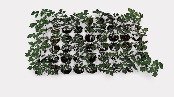 Tomato | Big seedlings | Growth screening 3D Model