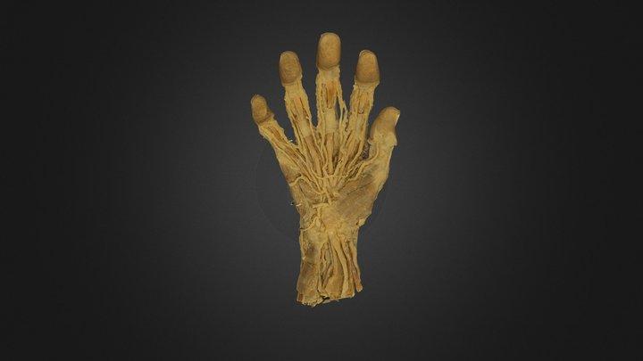 Plastinated Human Hand 3D Model