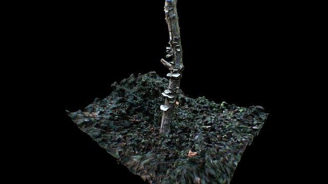 Scanned Dead Tree & Fungus 8K 3D Model