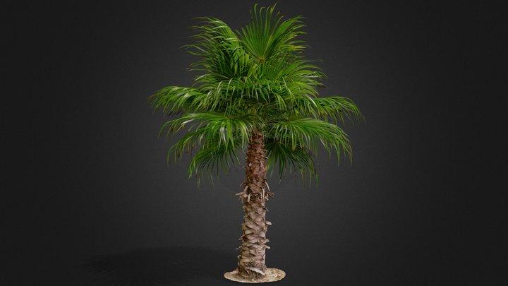 Palm tree A23 3D Model