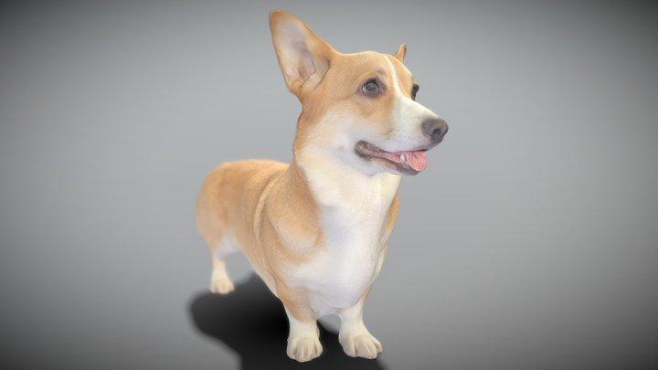 Corgi dog 01 3D Model