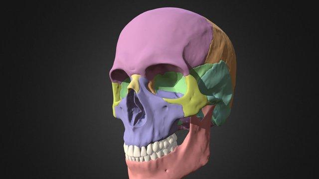 Skull Parts 3D Model