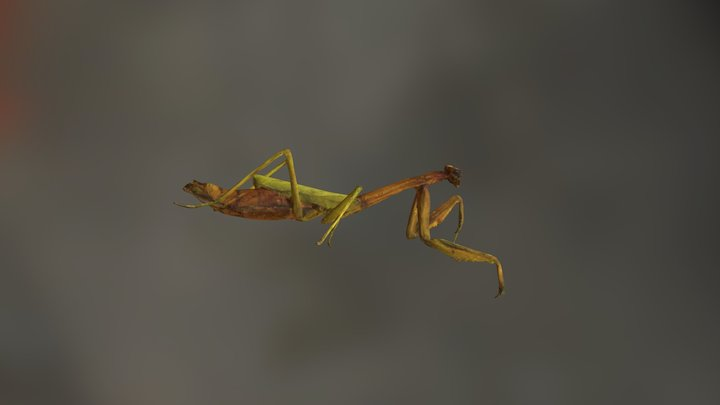 Carolina Mantis 3D Model