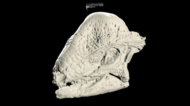 Stegoceras - pachycephalosaur dinosaur skull 3D Model