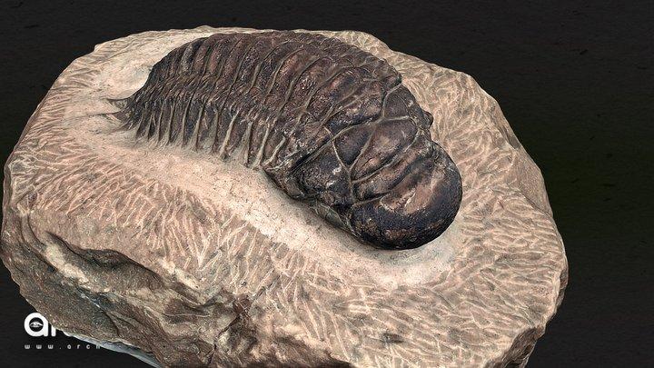 Trilobite - Crotalocephalus 3D Model