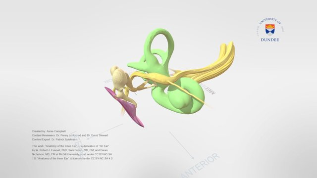 Anatomy of the Inner Ear 3D Model