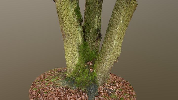 Helmsley Churchyard Oak Tree 3D Model
