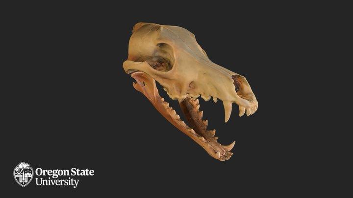 Coyote Skull - FW1521 3D Model