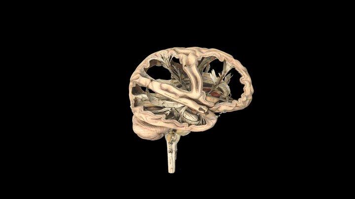 Model of a human brain 3D Model