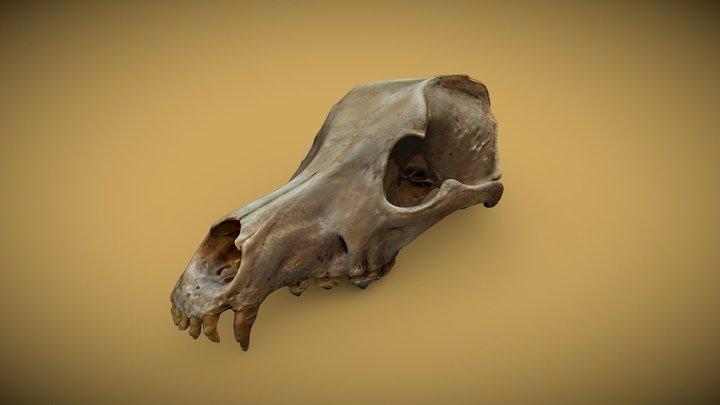 Jupiter's skull 3D Model