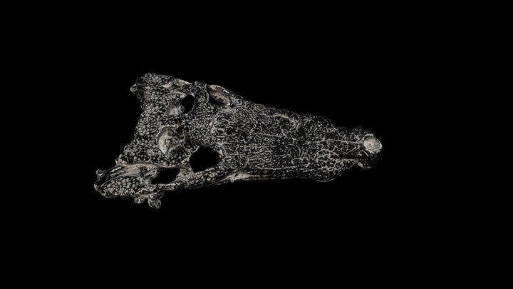 Crane de Goniopholis (crocodile fossile) 3D Model
