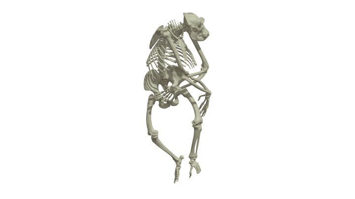 CT Based Adult Gorilla Skeleton 3D Model