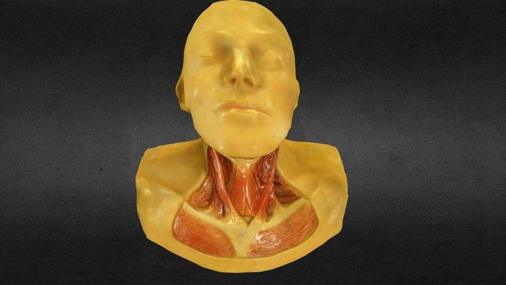 Neck Muscles 3D Model